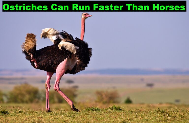 Ostriches Can Run Faster